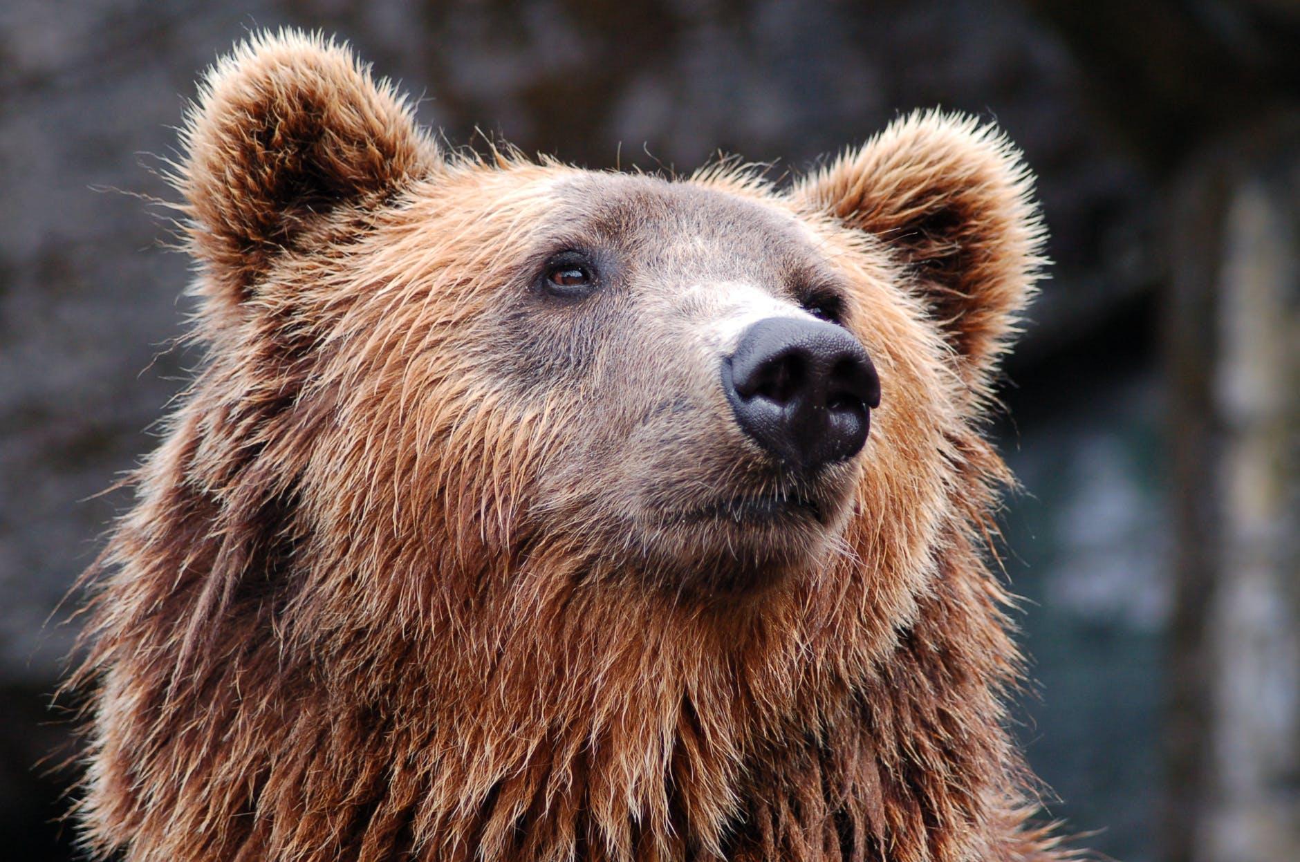 Образ медведей в различных политических кампаниях мира